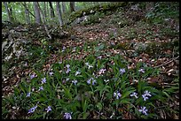 Crested dwarf irises. Mammoth Cave National Park, Kentucky, USA. (color)