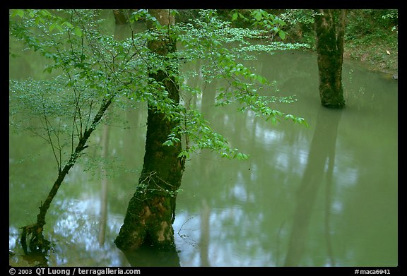 Flooded trees in Echo River Spring. Mammoth Cave National Park (color)