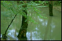 Flooded trees in Echo River Spring. Mammoth Cave National Park, Kentucky, USA.