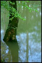 Flooded trees and reflections in Echo River Spring. Mammoth Cave National Park ( color)