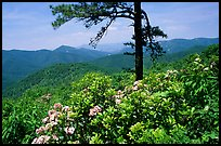 Rododendrons and tree from overlook on Skyline Drive. Shenandoah National Park, Virginia, USA. (color)