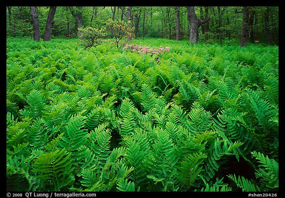 Ferns and flowers in spring. Shenandoah National Park, Virginia, USA.