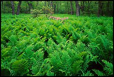 Ferns and flowers in spring. Shenandoah National Park, Virginia, USA. (color)