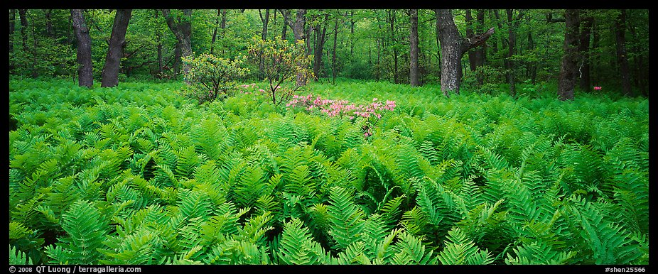 Tender green ferns and pink flowers in spring forest. Shenandoah National Park (color)