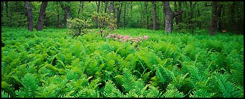 Tender green ferns and pink flowers in spring forest. Shenandoah National Park (Panoramic color)