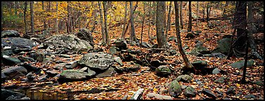 Forest scene with bright autumn leaves on the ground. Shenandoah National Park (Panoramic color)