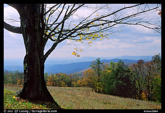Big tree at Meadow overlook in fall. Shenandoah National Park (color)