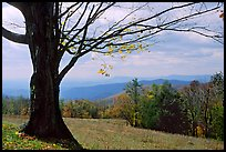 Big tree at Meadow overlook in fall. Shenandoah National Park ( color)