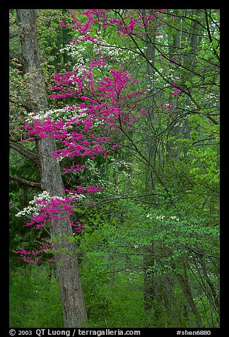 Redbud and Dogwood in bloom near the North Entrance, evening. Shenandoah National Park, Virginia, USA.
