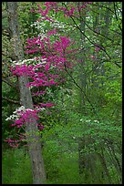 Redbud and Dogwood in bloom near the North Entrance, evening. Shenandoah National Park ( color)