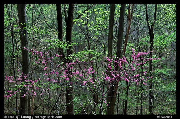 Redbud and Dogwood in bloom near the Northern Entrance, evening. Shenandoah National Park (color)