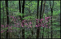 Redbud and Dogwood in bloom near the Northern Entrance, evening. Shenandoah National Park ( color)