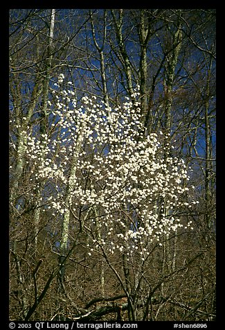 Tree blossoming  amidst bare trees. Shenandoah National Park, Virginia, USA.