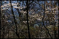 Backlit dogwoods in forest, afternoon. Shenandoah National Park, Virginia, USA. (color)