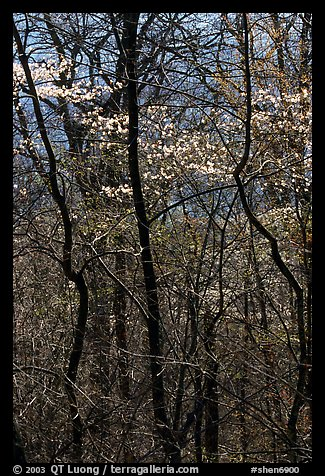 Twisted trunks and dogwood trees in forest. Shenandoah National Park (color)