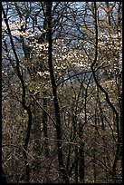 Twisted trunks and dogwood trees in forest. Shenandoah National Park ( color)