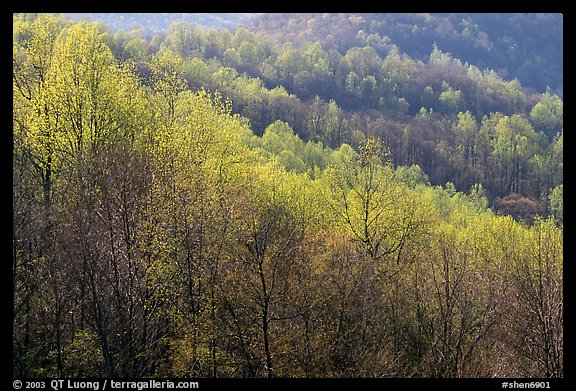 Trees in the spring, late afternoon, Hensley Hollow. Shenandoah National Park, Virginia, USA.