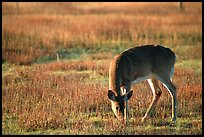 Whitetail Deer grazing in Big Meadows, early morning. Shenandoah National Park, Virginia, USA.