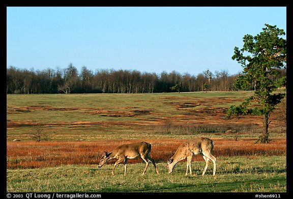 Whitetail Deer in Big Meadows, early morning. Shenandoah National Park, Virginia, USA.