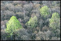 Trees with early foliage amongst bare trees on a hillside, morning. Shenandoah National Park ( color)