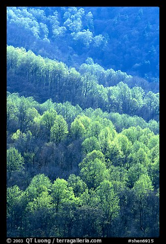 Backlit trees on hillside in spring, morning. Shenandoah National Park (color)