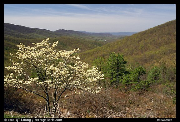 Tree in bloom and hills in early spring. Shenandoah National Park (color)