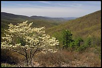 Tree in bloom and hills in early spring. Shenandoah National Park, Virginia, USA.