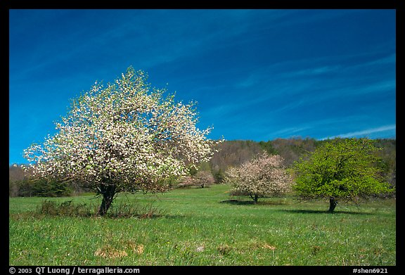 Trees in bloom in grassy meadow. Shenandoah National Park (color)