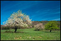 Trees in bloom in grassy meadow. Shenandoah National Park, Virginia, USA. (color)