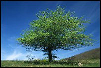 Tree with spring foliage standing against sky. Shenandoah National Park ( color)