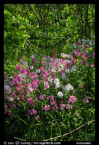 Pink and white summer wildflowers. Shenandoah National Park (color)