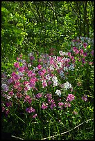 Pink and white summer wildflowers. Shenandoah National Park ( color)