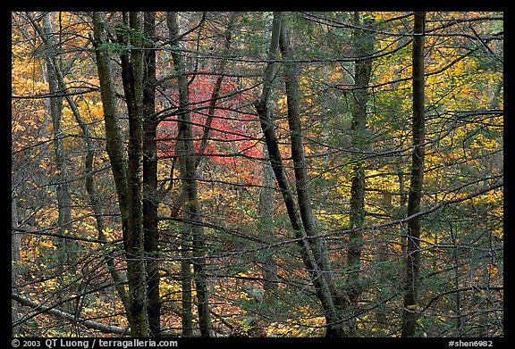 Tree trunks and branches against a backdrop of fall colors. Shenandoah National Park (color)