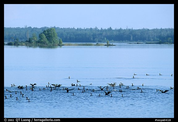 Birds in Black Bay. Voyageurs National Park (color)
