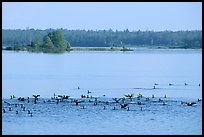 Birds in Black Bay. Voyageurs National Park, Minnesota, USA.