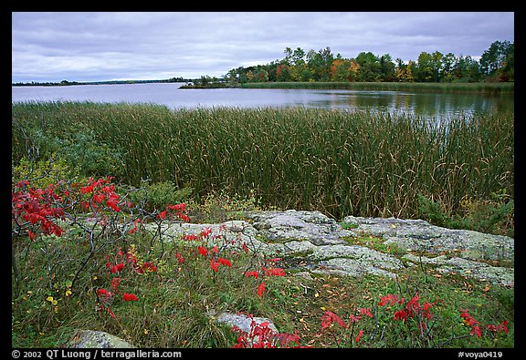 Grasses and red plants at Black Bay narrows on a cloudy day. Voyageurs National Park (color)