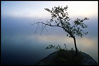 Tree in morning fog, Kabetogama lake near Woodenfrog. Voyageurs National Park, Minnesota, USA. (color)