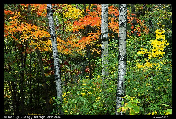 Trees in fall foliage. Voyageurs National Park (color)