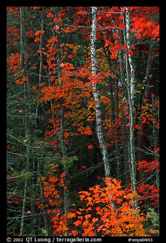 Trees in fall colors. Voyageurs National Park (color)