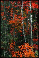 Trees in fall colors. Voyageurs National Park, Minnesota, USA.