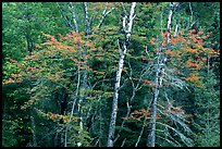 Trees in early fall color. Voyageurs National Park, Minnesota, USA. (color)