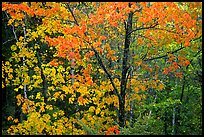 Trees in autumn foliage. Voyageurs National Park, Minnesota, USA. (color)
