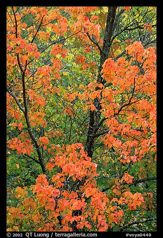 Trees in autumn color. Voyageurs National Park (color)