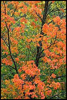 Trees in autumn color. Voyageurs National Park, Minnesota, USA.