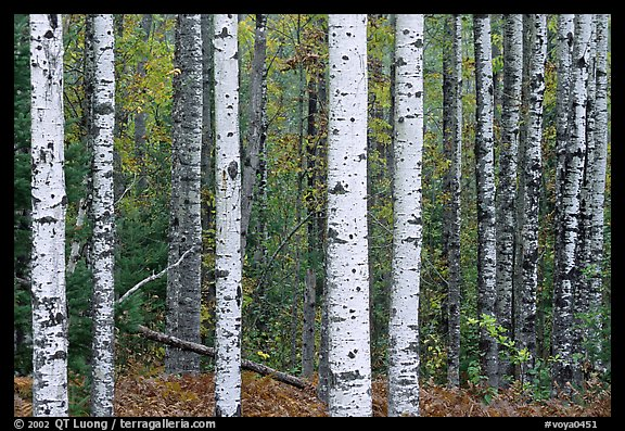 Birch tree forest. Voyageurs National Park, Minnesota, USA.