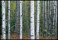 Birch tree forest. Voyageurs National Park, Minnesota, USA. (color)