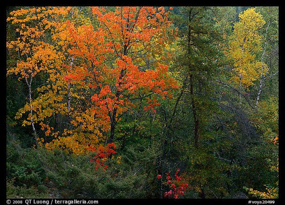 Mixed trees in fall color. Voyageurs National Park (color)