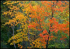 Yellow and orange trees. Voyageurs National Park ( color)