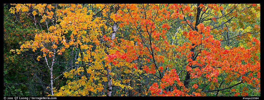 Mosaic of trees with colorful leaves in autumn. Voyageurs National Park (color)