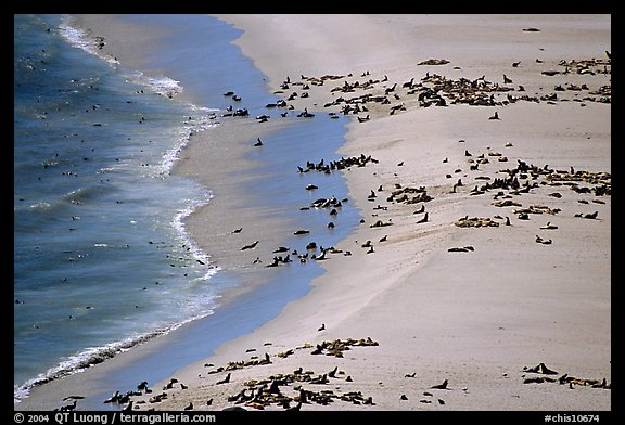 Seals and sea lions hauled out on  beach, San Miguel Island. Channel Islands National Park, California, USA.